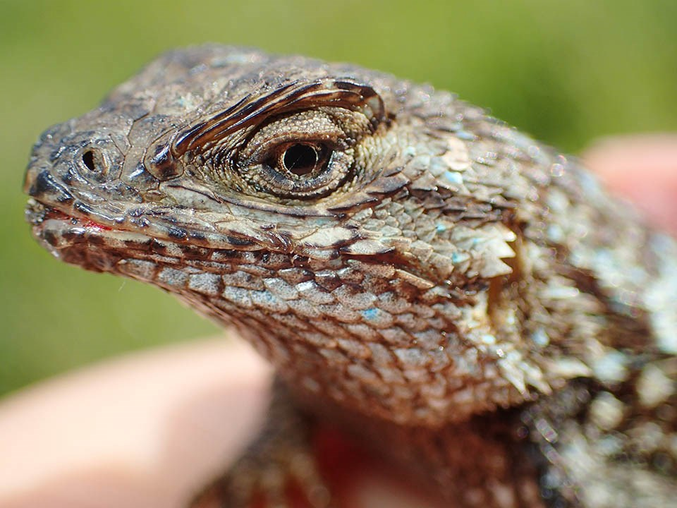 Close-up of a western fence lizard's face