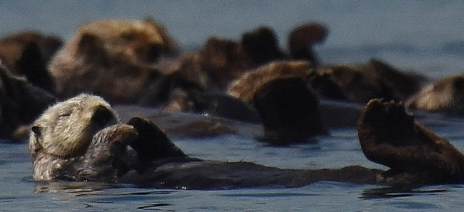 Sea otter, part of a raft of sea otters in Glacier Bay.