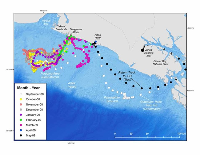 A map showing seal movements along the coast and into the Gulf of Alaska.