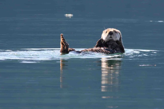 A sea otter floating.