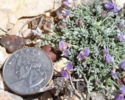 the sentry milk-vetch, a small plant with plump pale leaves and purple flowers, placed next to a quarter for scale