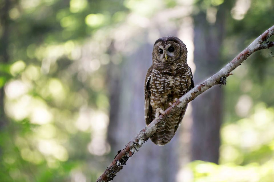 A female Northern Spotted Owl perches on a small branch with the forest blurred behind her.