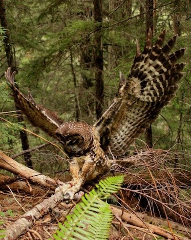 A banded male Northern Spotted Owl retrieves a mouse with its wings fully expanded.