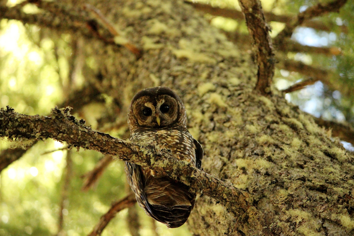 A female Northern Spotted Owl looks down at the camera while perching on a branch.