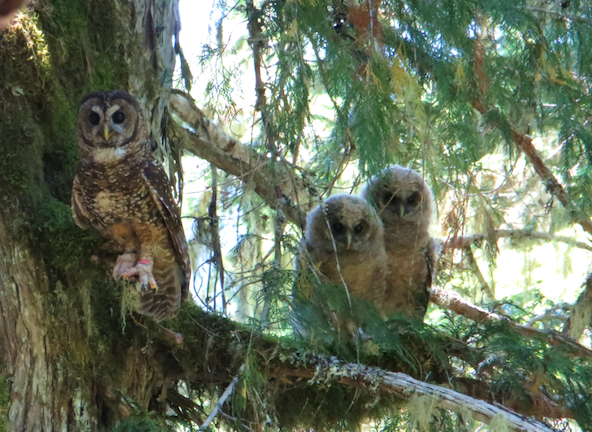 A banded male Northern Spotted Owl and two juveniles perch on a branch.