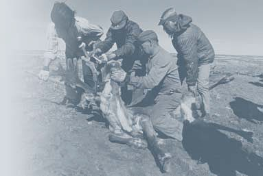 A black and white photo of four men harvesting a caribou.