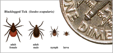 Comparison chart of different stages of a tick during its life, compared to a dime