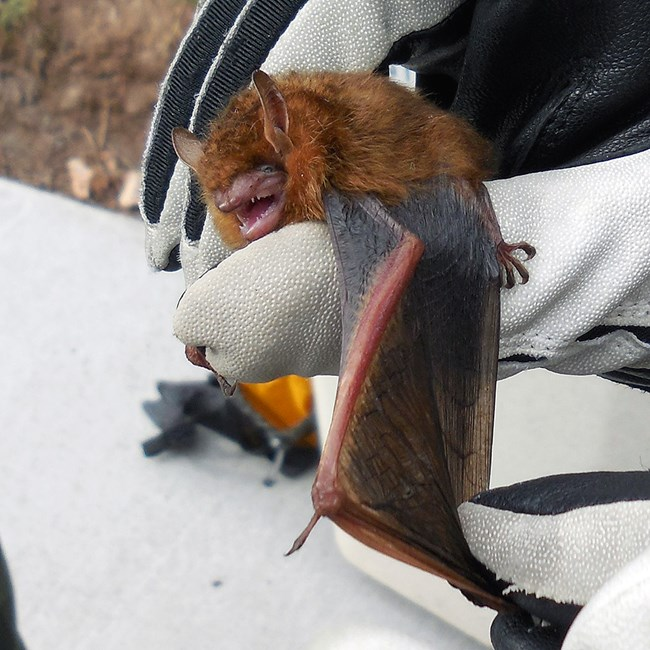 Tri-colored bat held by a researcher gently spreading its wing for measurement