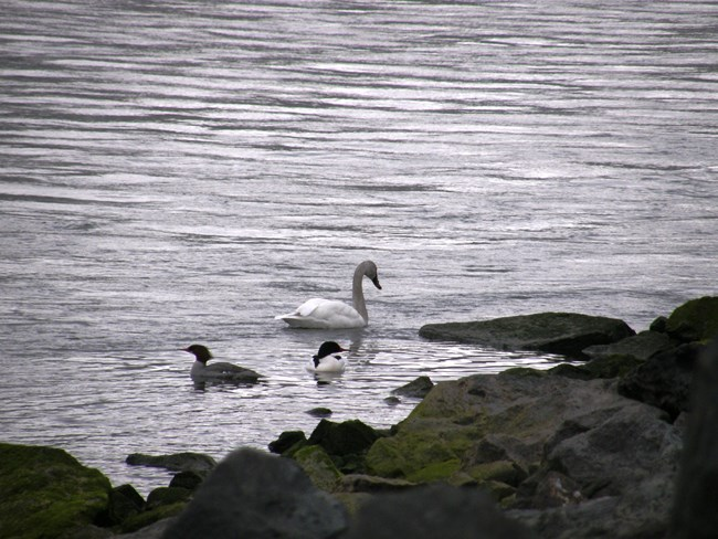 Swan and two smaller birds swim on the edge of a river.