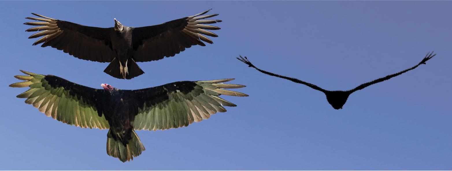 NETN Species Spotlight - Turkey and Black Vultures (U.S. National Park  Service)