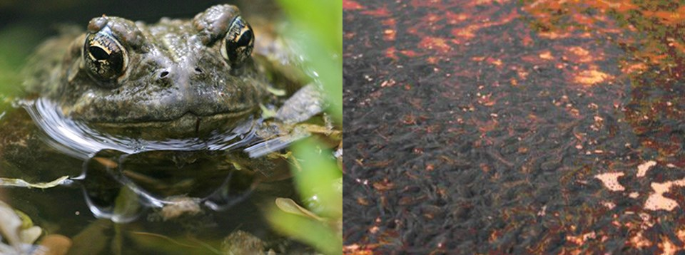 Left: Head-on view of Western toad; Right: A sea of dark, wriggling Western toad tadpoles in shallow water.