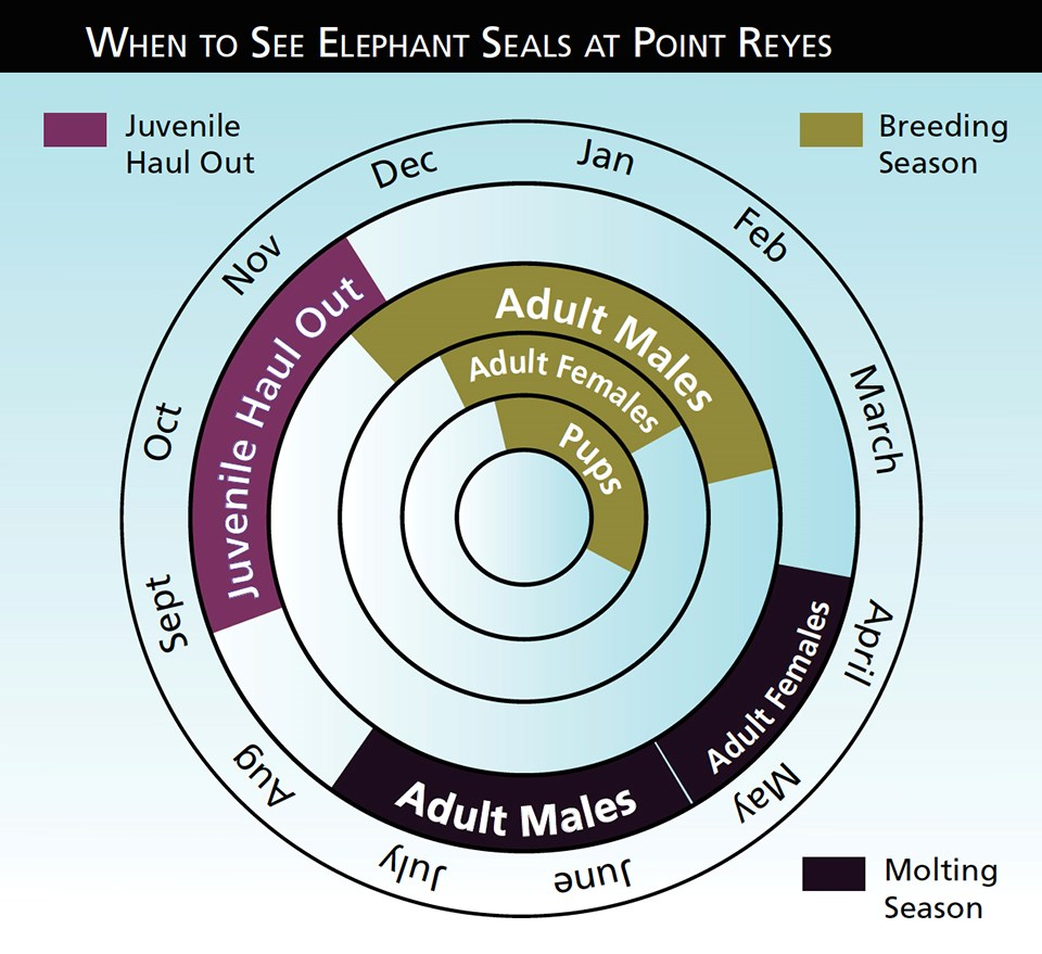 Chart showing when to see eseals at point reyes: Juvenile Haul out in Fall, breeding season in Winter, molting season in Spring/Summer.