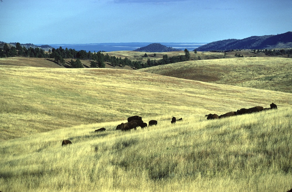 Bison and Buffalo Gap