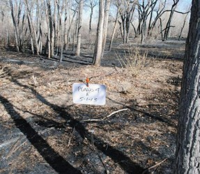 Burned area amongst cottonwood trees and fire monitoring placard in foreground.