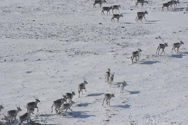 An aerial image of a herd of caribou in the snow-covered Arctic tundra.
