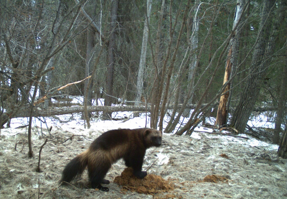 a wolverine digging in a snowy forest