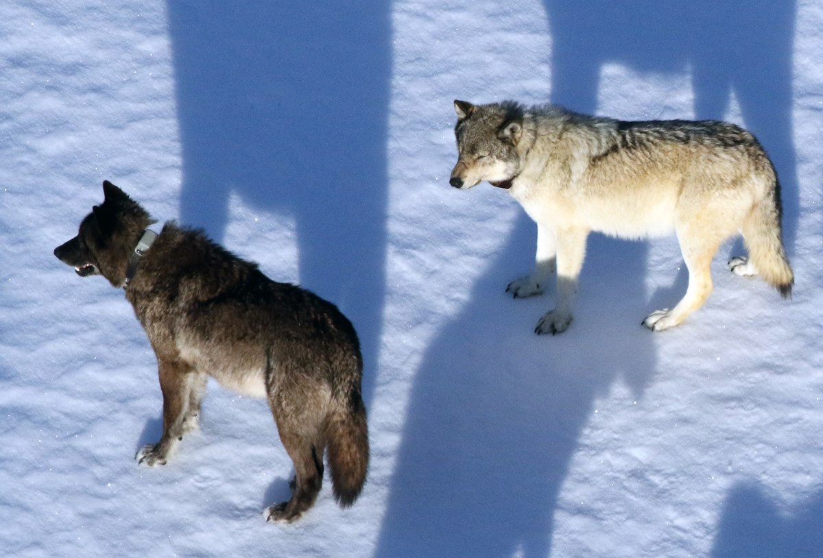 Two collared wolves as seen from a plane on a snowy landscape.