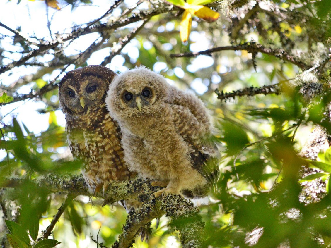 An adult and a juvenile northern spotted owl on a branch looking in the direction of the photographer