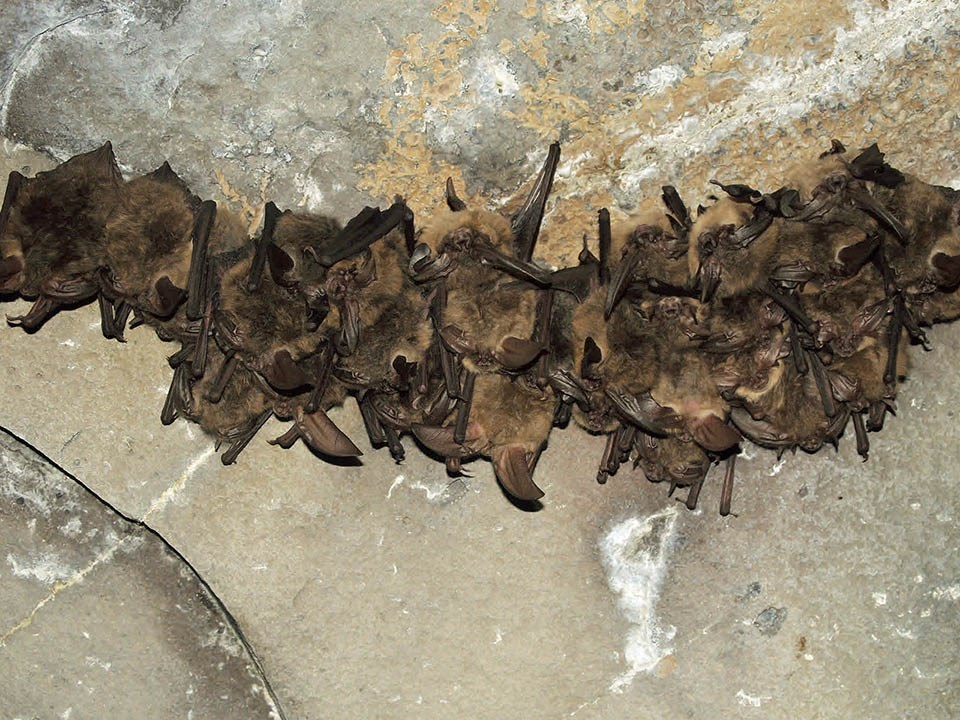 Small colony of townsend big-eared bats hang on wall inside cave.