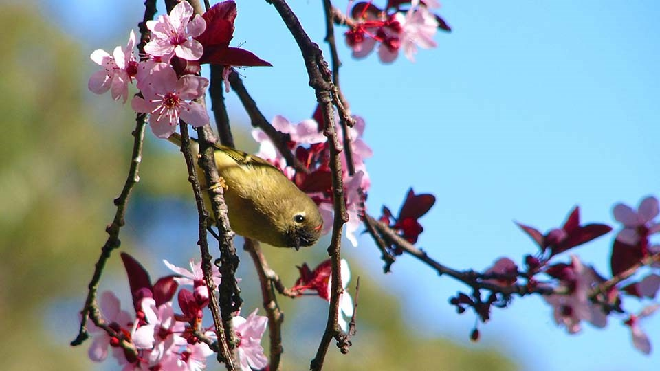 Ruby-crowned Kinglet perches in flowering tree