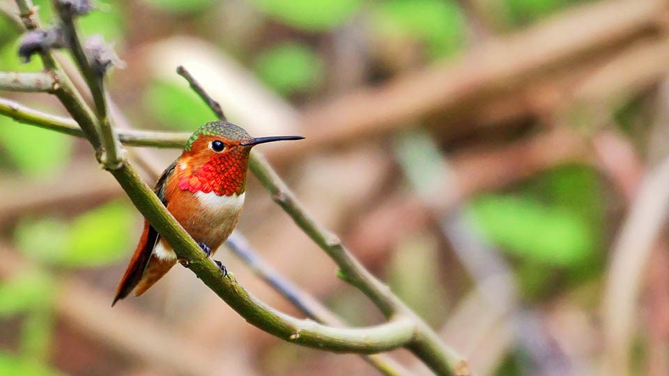 colorful Allen's Hummingbird perches on a branch