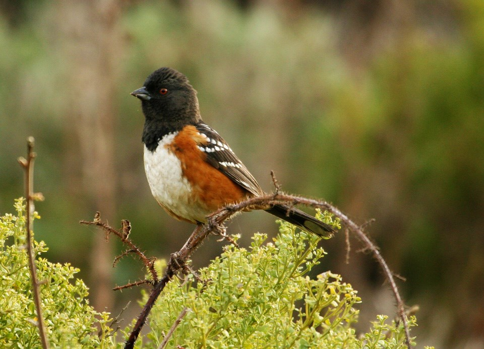 The Spotted Towhee perches on a branch.