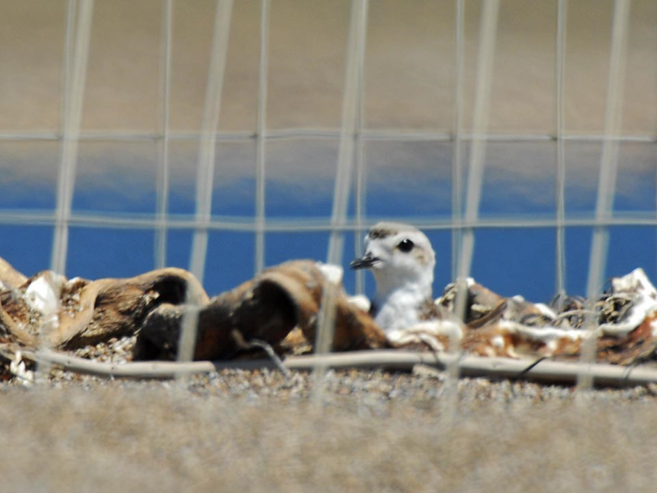 female snowy plover protected by a wire mesh exclosure as she incubates her eggs