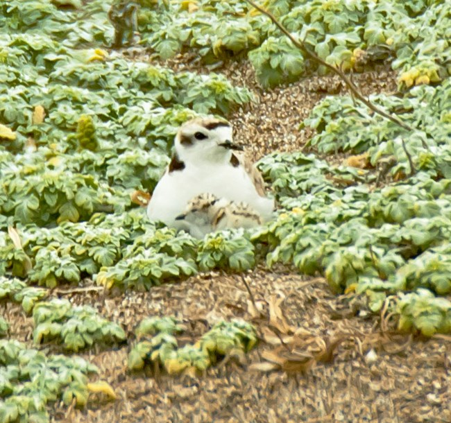 snowy plover in low vegetation at PORE