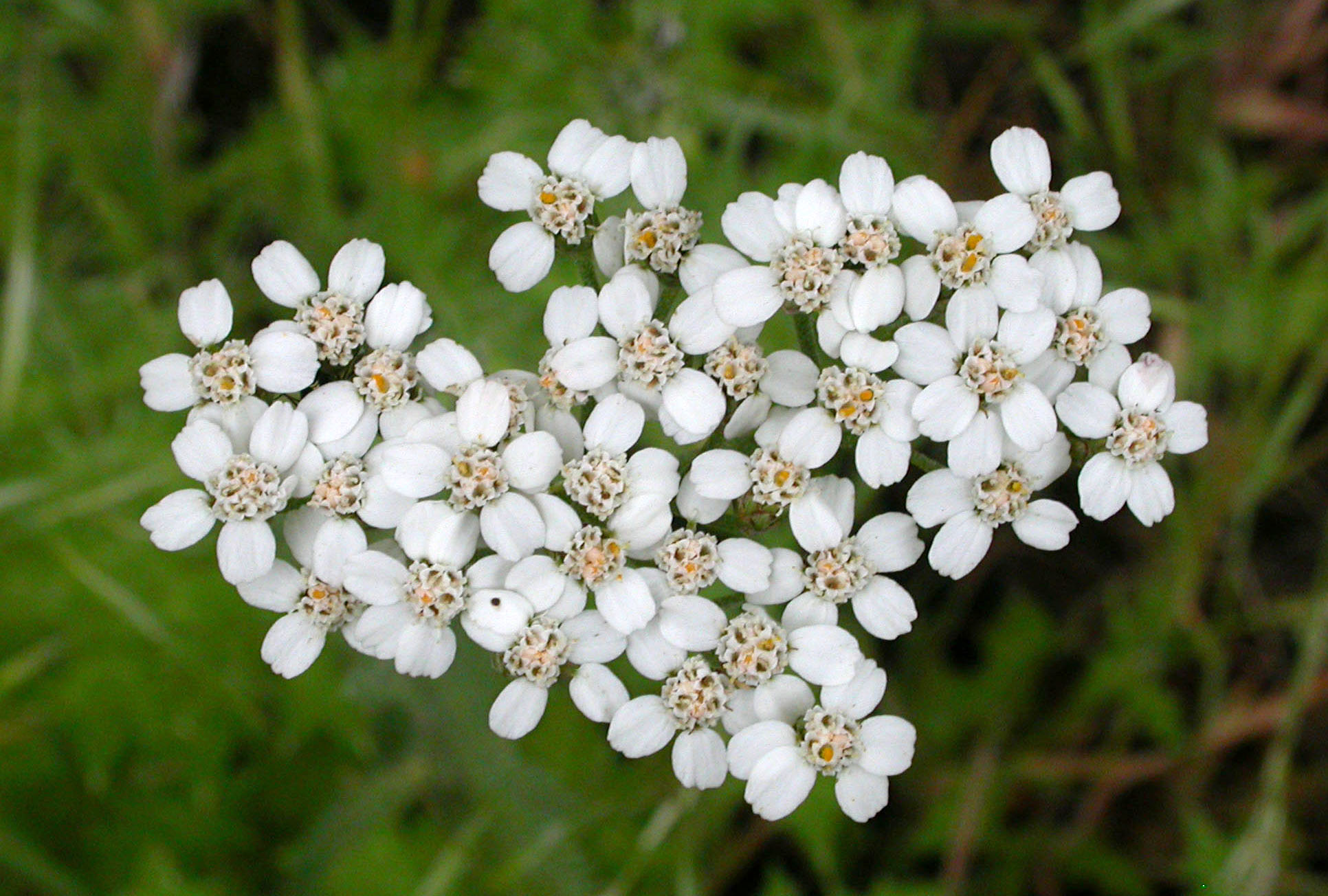 Common yarrow is one of the ozone sensitive species found at Hawai'i Volcanoes NP.