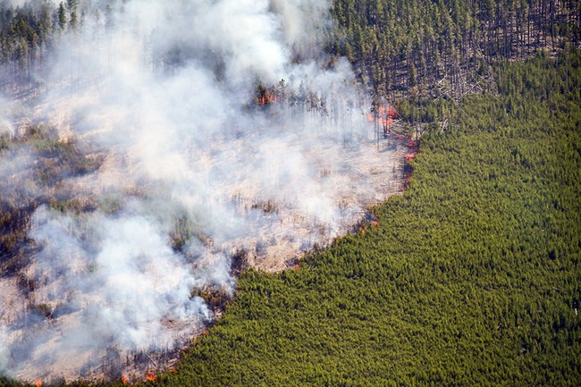 Aerial view of fire consuming lodgepole pine trees.