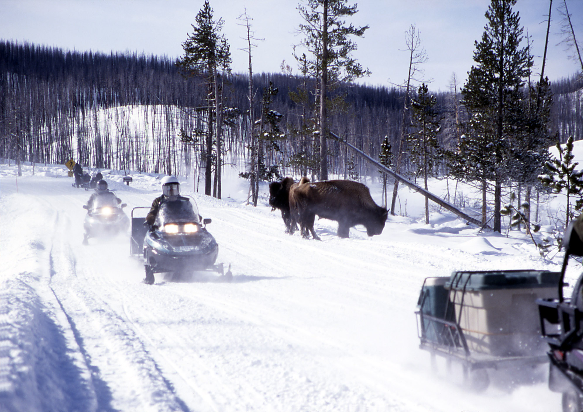 Over-snow vehicles driving past bison in Yellowstone NP