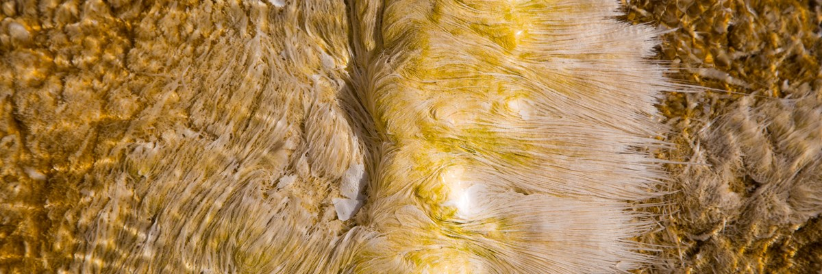 A close-up image of yellow, brown and white bacteria in a thermal pool