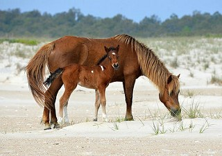 Mother and foal grazing vegetation in the dune habitat
