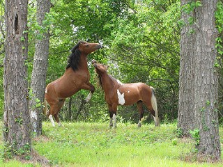 Horses beginning to fight