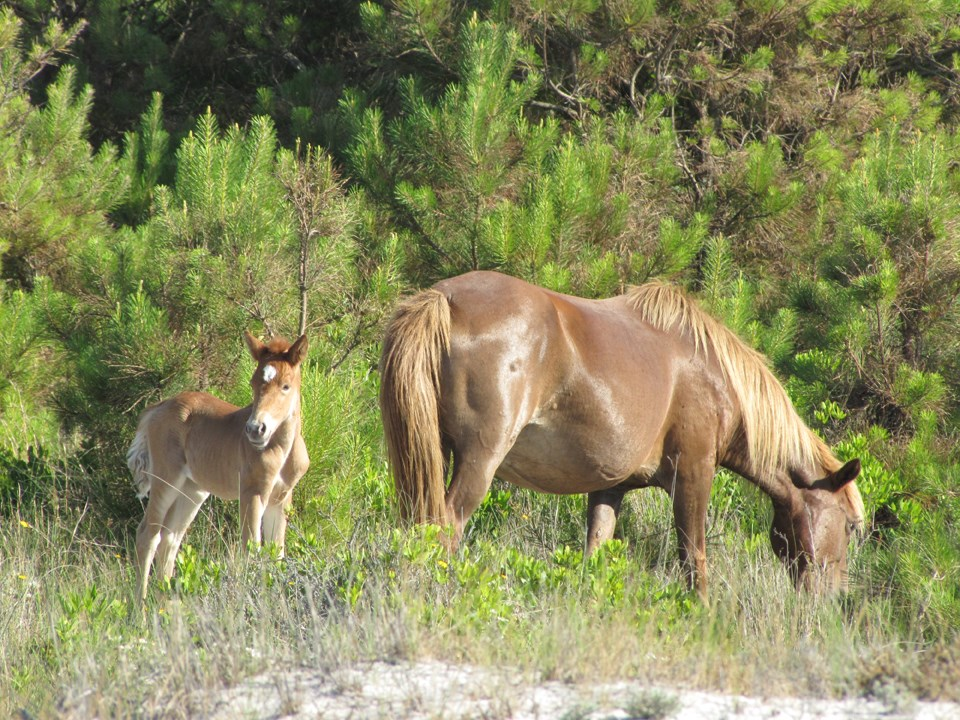 mare and foal grazing near Loblolly pine trees