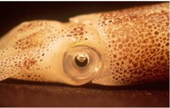 View of a squid head and eye