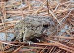 Fowler's toads can tolerate low levels of salinity and are able to absorb moisture from their environment directly through their skin. 34 kb