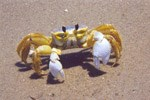 Ghost crabs spend their nights preying upon mole crabs and scavenging other snacks such as dead fish, crabs and birds washed in by the tides. 11 kb