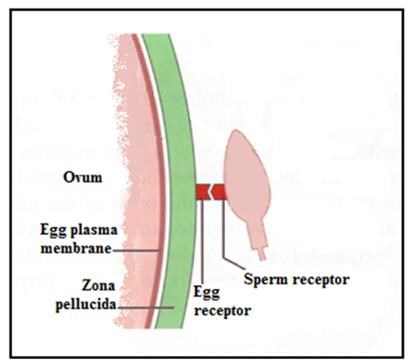 illustration of unaffected horse ovum (egg) without distorted sperm receptor sites