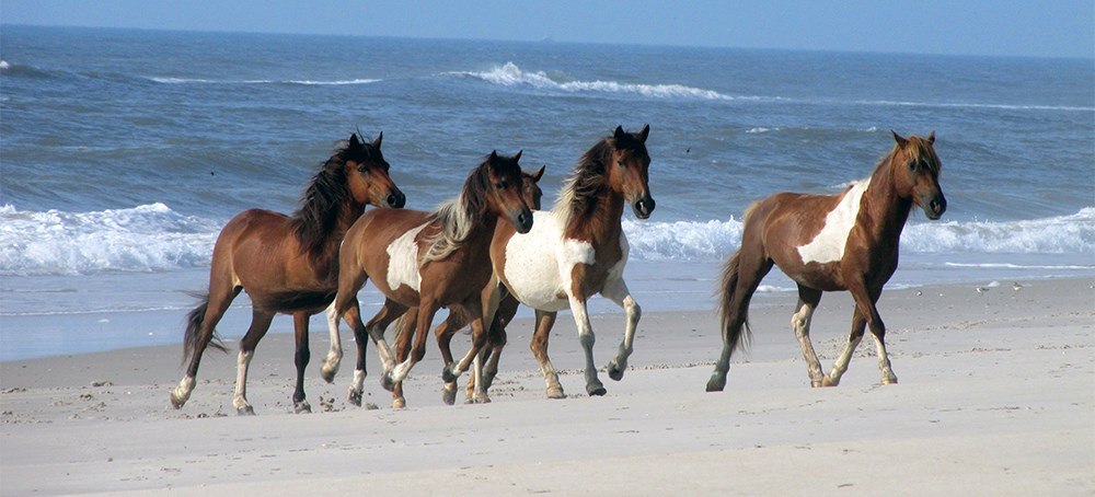 photo of a band of horses running on the beach along the ocean