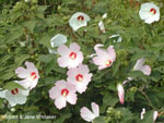 Rose Mallows flourish in disturbed areas such as roadsides. 15 kb