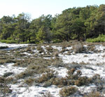One of the most distinctive shrubs of Assateague is beach heather, a dense, low shrub common to dunes and sandy areas along the eastern seaboard.20 kb