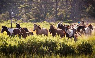 Saltwater Cowboys Round Up the Southern Herd for Pony penning