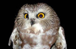 Saw-whet owls overwinter at Assateague. Little is known about the species, and the island serves as the site of several scientific studies on its migratory habits. 9 kb