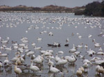 Each fall, large flocks of waterfowl such as snow geese begin arriving at Assateague where they will spend the winter traveling between the sheltered bay and salt marshes and farm fields on the mainland. 12 kb