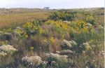 Sweet Everlasting and Seaside Goldenrod flowers flourish in an inter-dune area. 12 kb