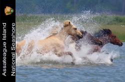 2013 annual pass image of 3 horses running in the water, 51kb