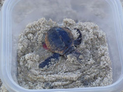 Hatchling loggerhead sea turtle excavated from nest on 10/26/12 in advance of hurricane Sandy, 44kb.