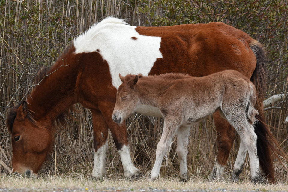 Assateague Island horse, Ms. Macky and her new foal, 216kb