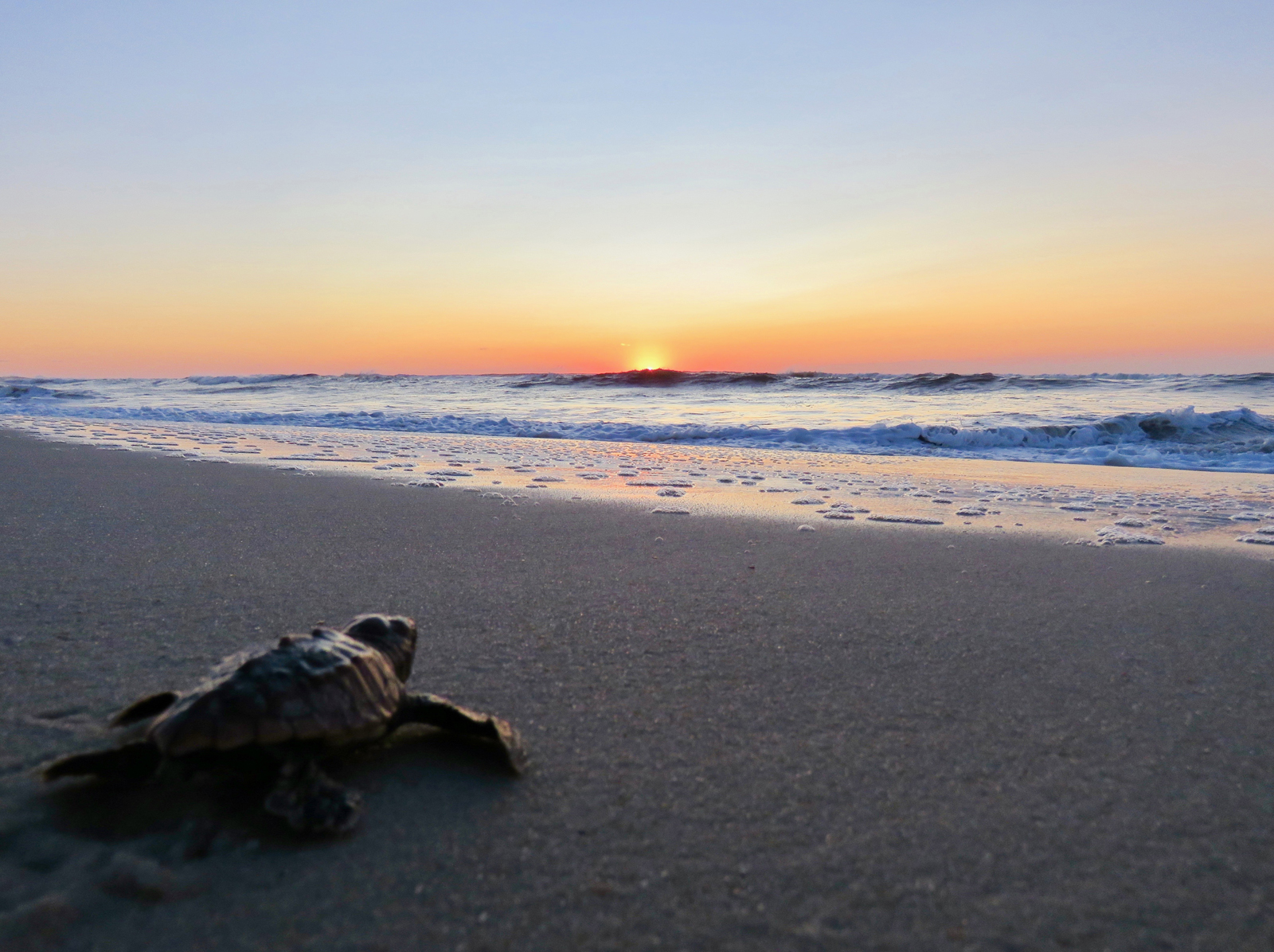 First Confirmed Sea Turtle Nest Hatch On Ateague Island National Seas